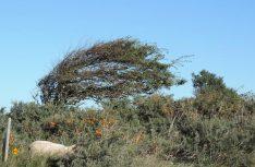 Vom Westwind in Form gebracht – Bäume und Sträucher an der Nordseeküste. (Foto: hcb)