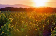 Abendstimmung in den Weinbergen der Cotes du Rhone. (Foto: Cotes du Rhone)
