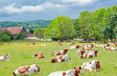 Eine intakte Natur und glückliche Kühe – beste Voraussetzungen für den leckeren Comte Käse. (Foto: det/D.C.I.)