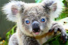 Phascolarctos cinereus - besser bekannt als Koala-Bär, schläft viel und ist eher ungefährlich. Die starken Krallen sorgen aber für schmerzhafte Kratzer. (Foto: skeeze/pixabay.com)