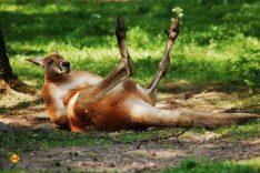 Macropodidae - also die Kängurus sind eine der bekanntesten Tierarten aus Australien und sind häufig das Symbol für den Kontinent und eher auch nicht gefährlich. (Foto: Katrina_S; pixabay.com)