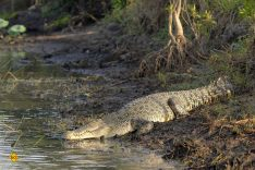 """Crocodylus porosus - das Salzwasserkrokodil, liebevoll auch """"Saltie"""" genannt, kommt in Nord-Australien häufig vor. Gefahrenpotential: Hoch! (Foto: skeeze/pixabay.com)"""