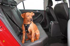 Überlebenswichtig: Haltgeschrirr für den Hund im Auto. (Foto: Movera)