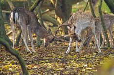 Zandvoort goes wild - das Tourismusbüro Zandvoort bietet den ganzen Oktober über Führungen zu Brunftstätten der Hirsche an. (Foto: NBTC)